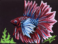 Betta copyright Joanne Howard 2015