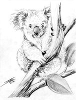 SK Koala copyright Joanne Howard 2020